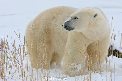 Polar Bear, Winter, Hudson Bay