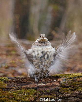 Ruffed Grouse on Drumming Log