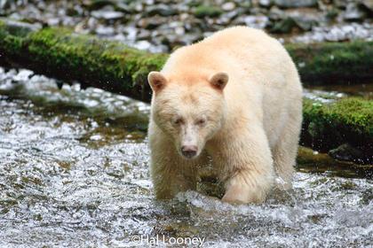 Spirit Bear, Great Bear Rainforest