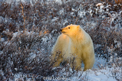 Young Polar Bear, First Light