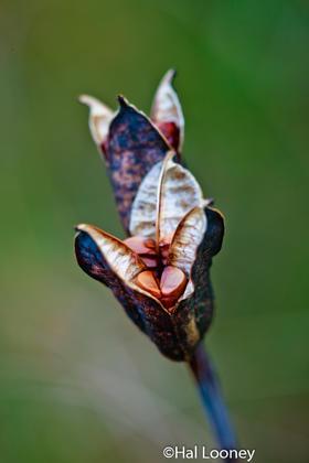Pitcher Plant, Macro, Fall, Adirondacks