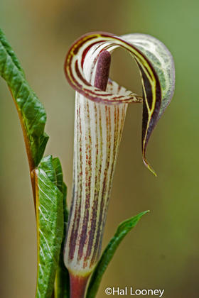 Jack-in-the-pulpit, Macro, Pearson's Falls