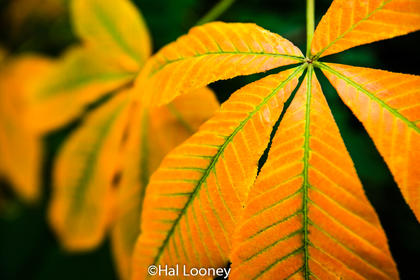 Buckeye Leaves, Macro, BRP