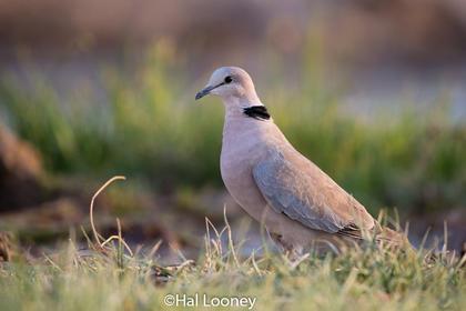 Common Dove_Etosha