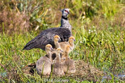 Southern Screamer with Chicks Rincon del Socorro-2