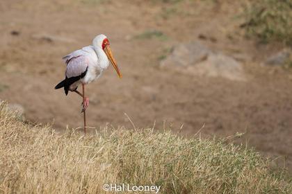 Stork_Kenya